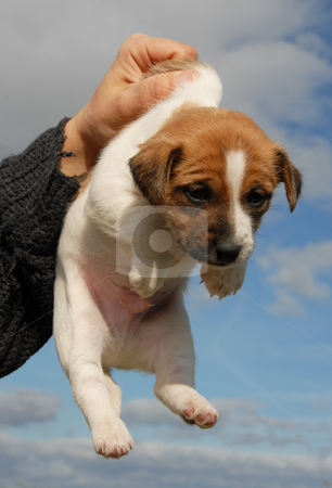 Puppy jack russel terrier stock photo, Very young puppy purebred jack russel terrier by Bonzami Emmanuelle
