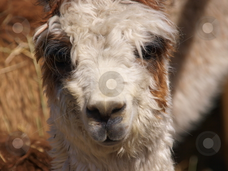 Alpaca stock photo, A color image of an Alpaca. by Michael Rice