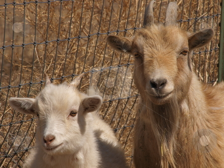 Two Goats stock photo, A color image of two goats. by Michael Rice