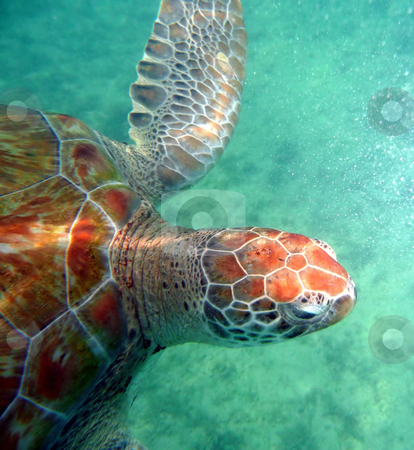 Close-up of sea turtle stock photo, Sea turtle in the open ocean swimming through clear water by Jill Reid