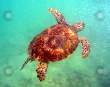 Sea turtle gliding through the water stock photo, Sea turtle in the open ocean swimming through clear water by Jill Reid