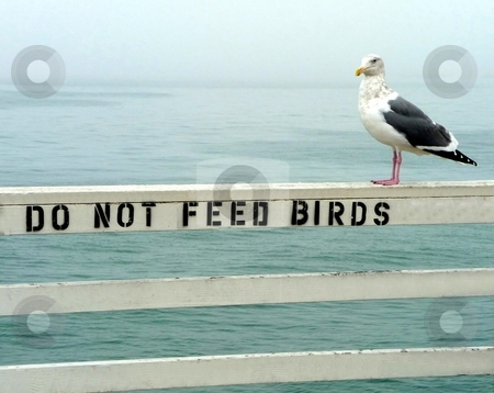Do Not Feed Birds stock photo, A seagull sits on a sign prohibiting feeding of birds by Jill Reid