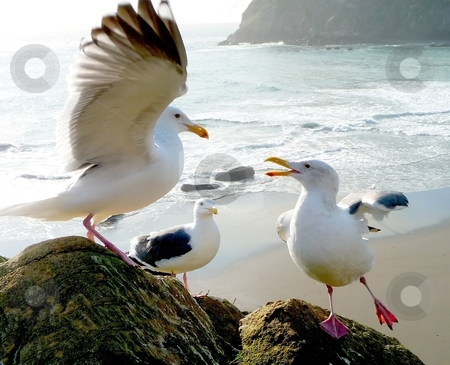 Dancing seagulls on rocks stock photo, Animated seagulls performing on rock in Oregon by Jill Reid