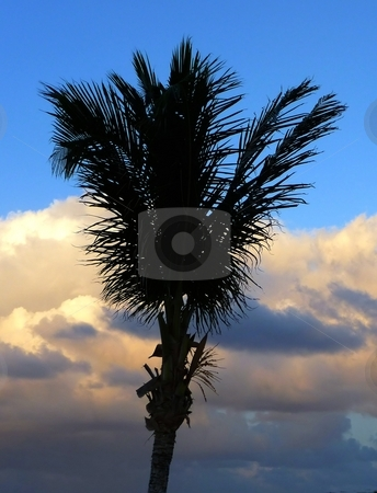 Palm tree silhouette stock photo, Palm tree in the sunset, St. Martin, FWI by Jill Reid