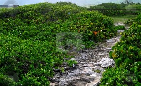 Coral path through sea grape stock photo, Tropical foliage and coral path by Jill Reid