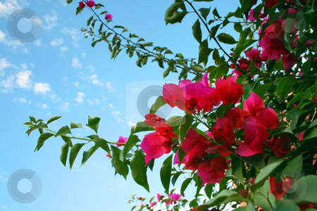 Bougainvillea stock photo, Medium shot of Bougainvillea plant with sky as background by iodrakon