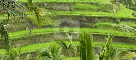 Rice Paddi in Bali stock photo,  by Didier Tais