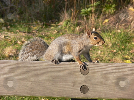 Squirrel    stock photo, An squirrel on the back of a park bench resting and looking for food. by Horst Petzold