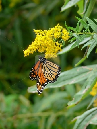 Butterfly    stock photo, A monarch butterfly, is hanging on a yellow on the nectar. by Horst Petzold