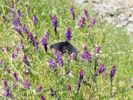 Black butterfly on purple flowers in green field stock photo, Butterfly landed on purple flower with wings outstreched by Jeff Cleveland