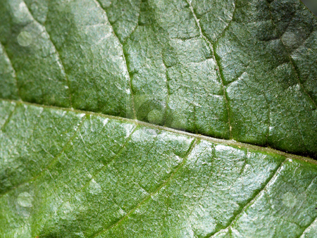 Closeup of green leaf veins details filling frame stock photo, Green leaf filling frame with vein detail closeup by Jeff Cleveland