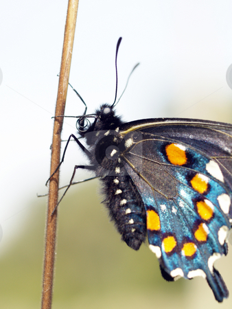 Closeup of butterfly on stick against sky and trees stock photo, Colorful butterfly closeup on stick against blurred background by Jeff Cleveland