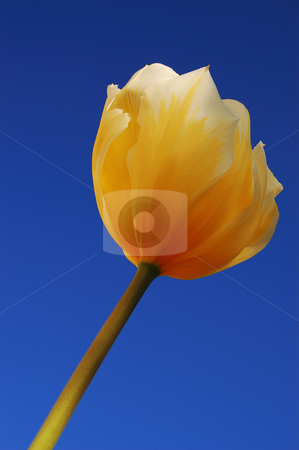 Yellow tulip against blue sky stock photo,  by Heather Shelley