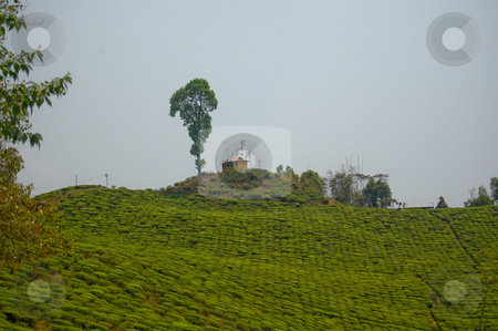 Tea garden stock photo,  by Piero Biondo