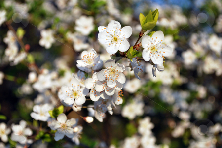 White Flower On Tree stock photo, White flower on tree in the spring by Tudor Antonel adrian