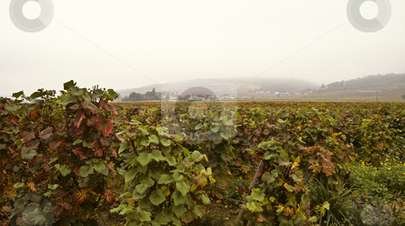 Mist hangs over Cote d'Or vineyards in Burgundy stock photo, Misty morning on Cote d'Or, Burgundy by GB Tittle
