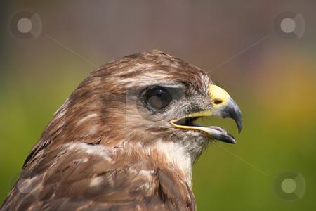 Hawk Eye stock photo, Profile portrait of a hawk by Helen Shorey