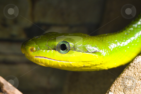 Red Tailed Racer stock photo, Red Tailed Racer (Gonyosoma oxycephala) - detail of head by Petr Koudelka