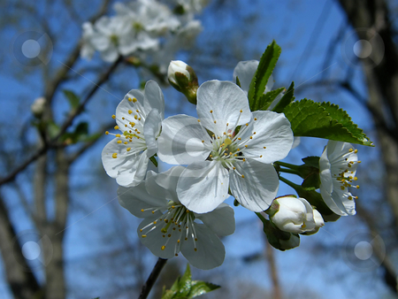 White Cherry Blossoms stock photo, White Cherry Blossoms by Dazz Lee Photography