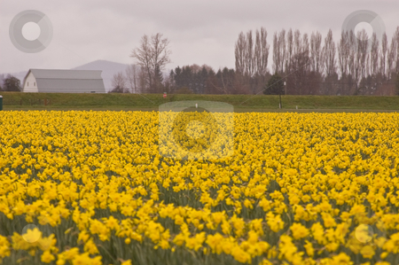 Huge Field of Daffodils with Barn in Background stock photo, Photo of a huge field of yellow daffodil flowers in full bloom with a barn in the background of this landscape shot. by Valerie Garner