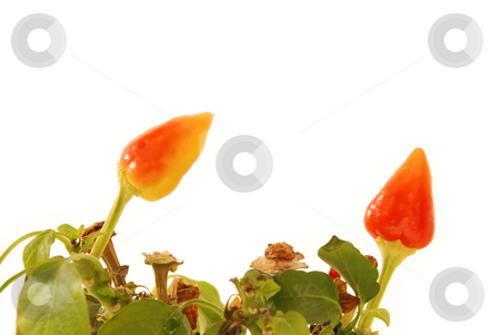 Pepers stock photo, Pepers on a white background by Alexey Rumyantsev