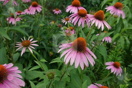 Coneflowers blooming stock photo, Cornflowers (Echinacea) come in a variety of colors and like the pinkish purple flower pictured are native to North America - growing generally in dry areas like grasslands and stony out-croppings and in  open forested areas. These plants are great  for the perennial border,  blooming early to late summer, with large showy flowers and grow up to four feet in height. The daisy like flowers, are pink or pink-purple or white, with one species even yellow. by Dennis Thomsen