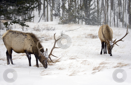 Snowy Feeding Ground stock photo, A pair of large elk trying to graze in a frozen meadow in Colorado Rockies by Mike Dawson