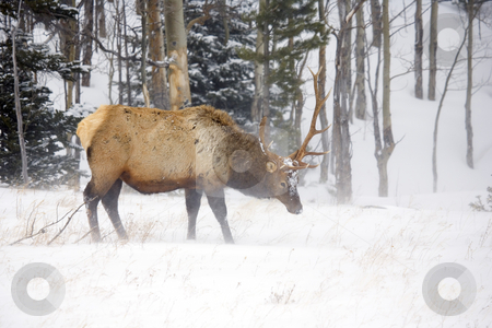 Braving the Cold stock photo, A large bull elek braving the cold and snow during a winter in the Colorado Rockies by Mike Dawson