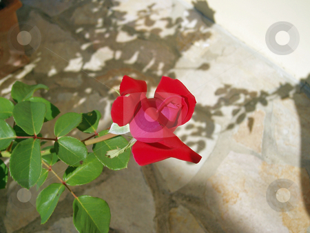 Red rose    stock photo, Red rose with stone background and shadows by Jaime Pharr