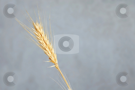 Wheat ear stock photo, One yellow dry wheat ear isolated over gray background by Julija Sapic