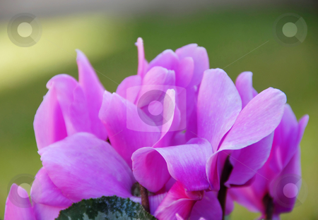 Cyclamens background stock photo, Pink blooming cyclamen details over green  background by Julija Sapic
