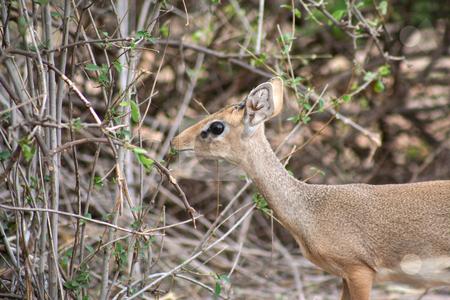 Adult Dik-dik stock photo, The dik dik is the smallest of the gazelle family and is very timid. Quite common in Samburu but often difficult to spot due to its shyness. This one stood still for maybe 5 seconds and then just disappeared into the scrub by Helen Shorey