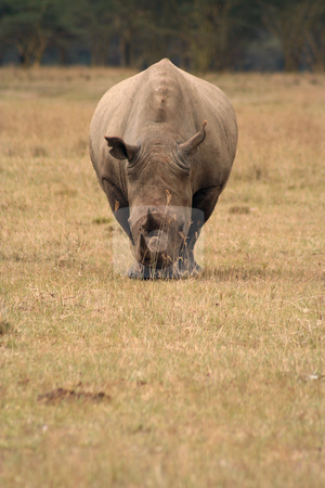 White Rhino Head on stock photo, White rhinos are grazers and less grumpy than their black cousins but are still dangerous. by Helen Shorey