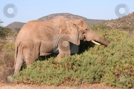 Old Bull Elephant Eating stock photo, Old bull elephant with a broken tusk. Taken in Samburu reserve, Kenya by Helen Shorey