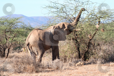 A Thorny Meal stock photo, Same old bull elephant using his trunk to get the leaves from between the thorns. by Helen Shorey