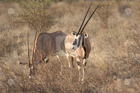 Two Large Oryx stock photo, One of the largest antelopes, often called the swordsman of the Plains due to its horns by Helen Shorey