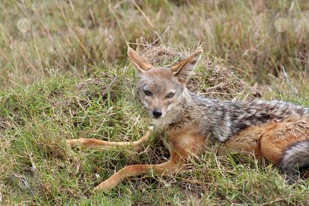 Male Jackal stock photo, Male jackal resting in the afternoon heat of the Masai Mara, Kenya by Helen Shorey