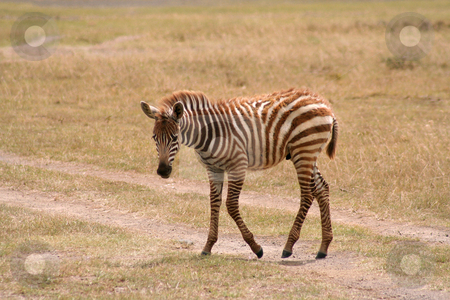 Baby Zebra Crossing stock photo, Very shaggy brown coated baby zebra crossing a dirt track in the Masai Mara grasslands by Helen Shorey