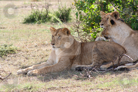 Three young lions stock photo, Three young lioness's resting after a chase - who knew lions had spots? by Helen Shorey