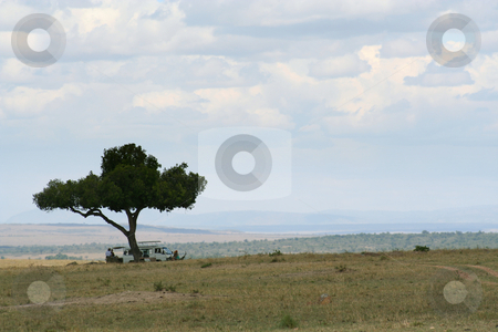 Lunchtime, safari style stock photo, Lunch in the Masai mara when out for the whole day, takes place under one of these wonderful trees in an open area. The predators can be spotted a long way off so it is safe for humans to get out of the vehicle. by Helen Shorey