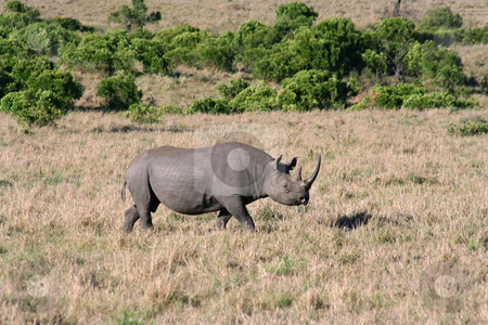 Black Rhino closer stock photo, Black rhino getting closer to our vehicle by Helen Shorey