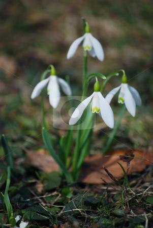Snowdrops stock photo,  by Sarka