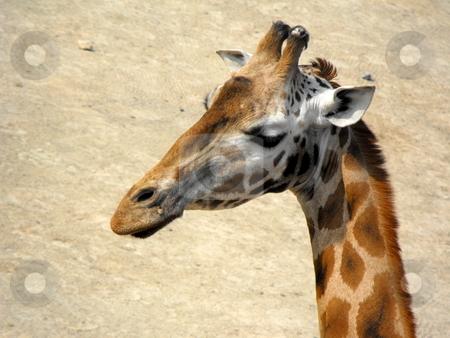 Giraff stock photo,  by Jan St??blo