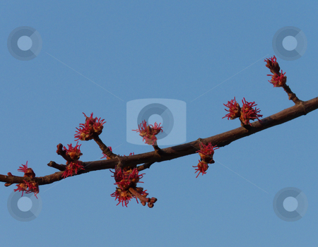 Silver Maple Flowers stock photo, Red flowers of a silver maple (Acer saccharinum) against a blue sky in spring. by Kathy Piper