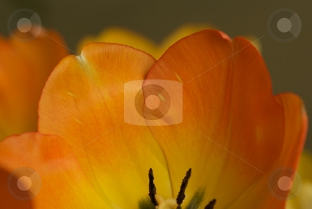 Warm Tulip Petals stock photo, Macro of a yellow-orange blooming Tulip. by Charles Jetzer