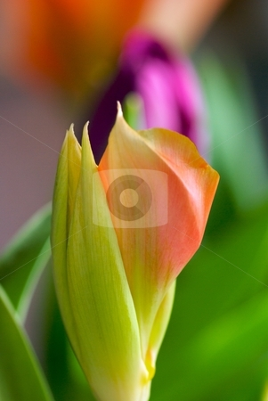 Amaryllis cracking open stock photo, A closeup of a Amaryllis just starting to bloom by Charles Jetzer