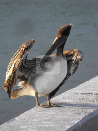 Brown Pelican stock photo, A Florida brown pelican perches on a sea wall. by Dennis Thomsen