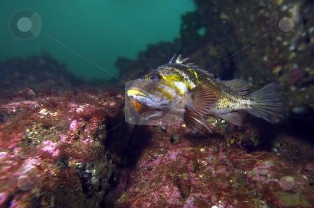 Copper Rockfish stock photo,  by Greg Amptman