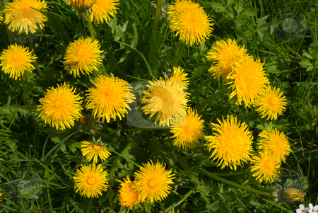 Gew?hnliche L?wenzahn (Taraxacum sect. Ruderalia) - Dandelion stock photo, Der Gew?hnliche L?wenzahn (Taraxacum sect. Ruderalia) stellt eine Gruppe ?u?erst ?hnlicher und stark verwandter Pflanzen in der Gattung L?wenzahn (Taraxacum) aus der Familie der Korbbl?tler (Asteraceae) dar.  - The common name Dandelion is given to members of the genus Taraxacum, a large genus of flowering plants in the family Asteraceae. by Wolfgang Heidasch