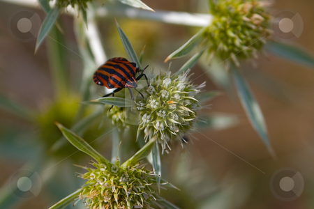 Streifenwanze (Graphosoma lineatum) stock photo, Die Streifenwanze (Graphosoma lineatum) geh?rt zur Familie der Baumwanzen (Pentatomidae). - The Graphosoma lineatum is a genus species of the Pentatomidae family. by Wolfgang Heidasch